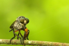 Robber Fly (Asilidae family)