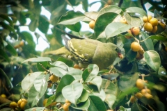 THICK-BILLED GREEN PIGEON ( Treron curvirostra)