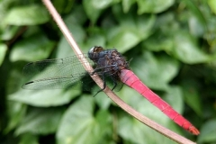 Orthetrum pruinosum (Crimson-tailed marsh hawk) (Male)