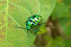 Green Jewel Bug ( Scutiphora pedicellata)