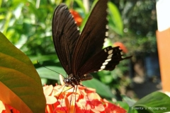 Indian Common Mormon ( Papilio Polytes L)