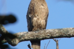 Pallas's Fishing Eagle