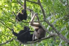 Western Hoollock Gibbon