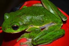 Large Tree Frog