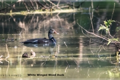 White winged wood duck_edited