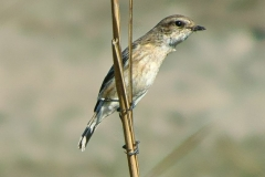 White-tailed Stonechat(Female)