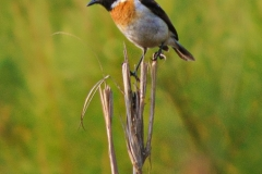 White-tailed Stonechat(Male)