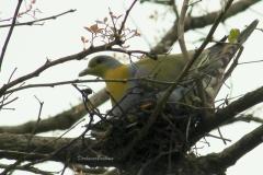 Yellow-footed Green Pigeon (Treron phoenicopterus)